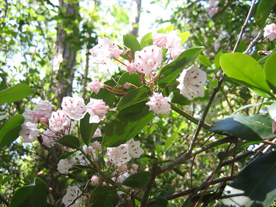 Mountain Laurel (Sandra Friend)