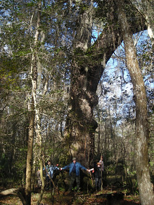 Tree for which the trail is named (Linda Benton)